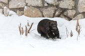 image of zoo  - Wolverine at the zoo in the winter in the snow - JPG