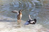 picture of duck pond  - Ducks in a pond in winter park - JPG