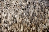 pic of ostrich plumage  - Close - JPG