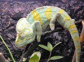 picture of chameleon  - Green chameleon on a tree - JPG