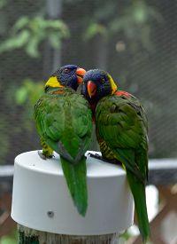 foto of lorikeets  - Rainbow Lorikeet Parrots are kissing each other - JPG