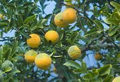 Poncirus Trifoliata. Japanese Bitter Orange. Citrus Trifoliata Fruit Tree. Hardy Orange. Trifoliate  poster