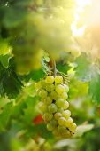 Bunch of grapes on grapevine in vineyard. Shallow DOF.