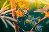 Sea Buckthorn Bush With Yellow Berries , Hippophae Rhamnoides, Sandthorn, Sallowthorn Or Seaberry.se poster