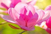 picture of japanese magnolia  - backlit delicate blossom of japanese magnolia tree - JPG