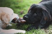 White Golden Retriever And Black Newfoundland Dog Play Tug Of War With A Dog Toy poster