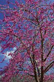 image of judas tree  - image shows a tree full of violet flowers  - JPG