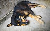 Older Dog Sleeps On The Cement Floor. Black Dogs Are Lying Down On The Cement Floor. poster