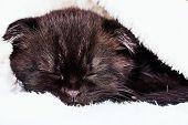 Small Sleeping Kitten Pet. Scottish Fold Kitten poster