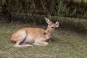 Deer Are The Hoofed Ruminant Mammals Forming The Family Cervidae. poster