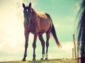Brown Wild Horse On Meadow Idyllic Field. Agricultural Mammals Animals In Natural Environment. poster