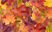 Colorful Background Of Autumn Maple Tree Leaves Background Close Up. Multicolor Maple Leaves Autumn  poster