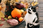 Cute Cat Sitting At Beautiful Pumpkin In Light, Vegetables On Bright Autumn Leaves, Acorns, Nuts On poster