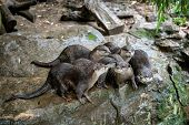 Group Of Oriental Small-clawed Otter (amblonyx Cinereus), Also Known As The Asian Small-clawed Otter poster