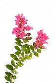 stock photo of crepe myrtle  - crepe myrtle flowers - JPG