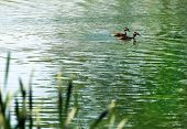 picture of great crested grebe  - Great crested grebe couple swimming on the surface of a lake - JPG