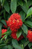 foto of sita  - Ashoka flowers - JPG