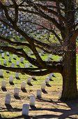 pic of arlington cemetery  - Arlington Cemetery with Grave Stones and Tree - JPG