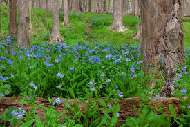 stock photo of life after death  - A dying tree and its fallen trunk protect springtime bluebells as they rise to life on the woodland floor - JPG