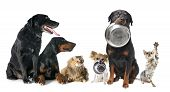 image of doberman pinscher  - hungry pets in front of a white background - JPG