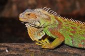 picture of fulcrum  - male green iguana on the fulcrum of a tree - JPG