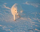 foto of arctic fox  - An arctic fox searches for food in the snow near Churchill Manitoba - JPG