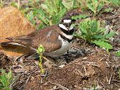 stock photo of killdeer  - killdeer on nest screeching - JPG