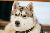 stock photo of husky  - Gray Adult Siberian Husky Dog  - JPG