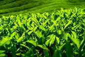 stock photo of cameron highland  - Tea plantation in Cameron highlands - JPG