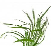 stock photo of bulrushes  - bunch of green grass Isolated on white background - JPG