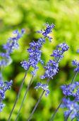 image of blue-salvia  - Blue Salvia  - JPG