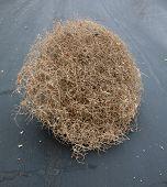 pic of weed  - A Genuine Tumble weed aka  - JPG