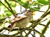 stock photo of nightingale  - Thrush Nightingale resting on a branch in its habitat - JPG
