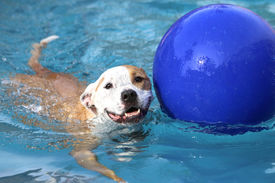 image of pool ball  - A dog swimming with his ball in the pool - JPG