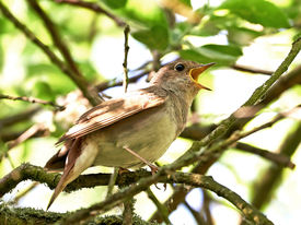 image of nightingale  - Thrush Nightingale resting on a branch in its habitat - JPG
