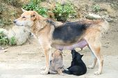 foto of puppies mother dog  - Dog Mother Stand Feeding the 2 cute puppies - JPG