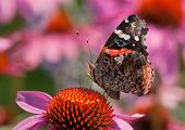 image of prairie coneflower  - A beautiful Red Admiral butterfly feeds on the nectar of a Purple Coneflower in a midwestern prairie - JPG