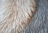 pic of arctic fox  - Fur of polar fox of different colors - JPG