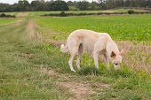 stock photo of lurch  - A dog sniffing the ground in a field - JPG