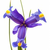 pic of purple iris  - dark purple iris open flowers isolated on white background - JPG