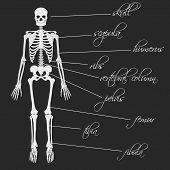 pic of descriptive  - white human bones skeleton with description eps10 - JPG