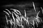 stock photo of tall grass  - Tall wild grass stalks growing in black and white - JPG