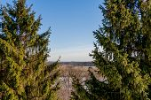 picture of conifers  - Two conifers on the high banks of the river in the early spring - JPG