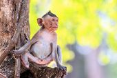 foto of macaque  - Little Monkey  - JPG