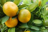 stock photo of kumquat  - Close up kumquats resembling oranges and other citrus fruits. ** Note: Soft Focus at 100%, best at smaller sizes - JPG