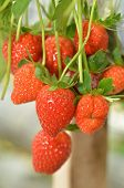 stock photo of gents  - Strawberry growth in the strawberr farm in Genting Malaysia