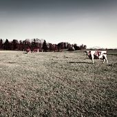 picture of pastures  - Cows Grazing on Green Pasture in Switzerland Vintage Style Toned Picture - JPG