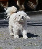 picture of bichon frise dog  - A white bichon frise dog with curly hair - JPG
