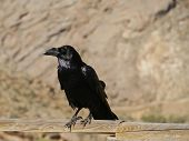 pic of raven  - Canary island raven (Corvus corax tingitanus) also known as the african raven is a large all-black bird