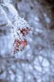 image of rowan berry  - Red rowan berries with ice crystals winter morning hoarfrost vintage photo effect - JPG